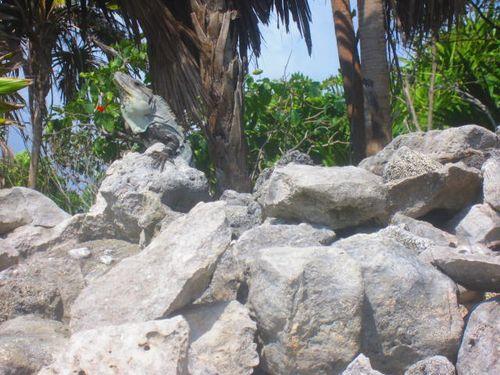Iguana Walk 101