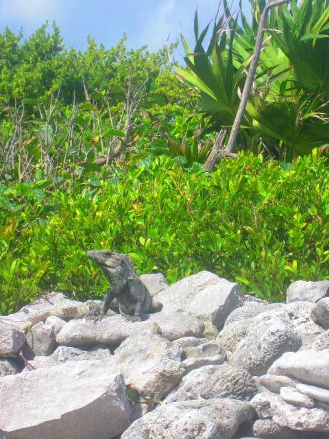 Iguana Walk 106