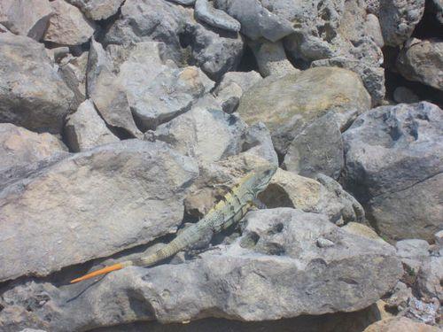 Iguana Walk 116