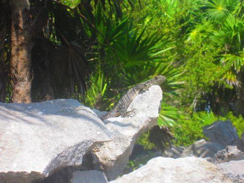 Iguana Walk 140