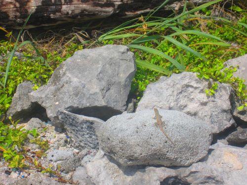 Iguana Walk 008