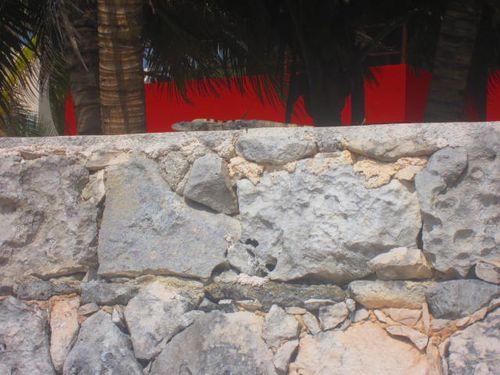 Iguana Walk 028