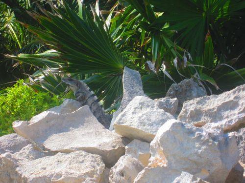 Iguana Walk 039
