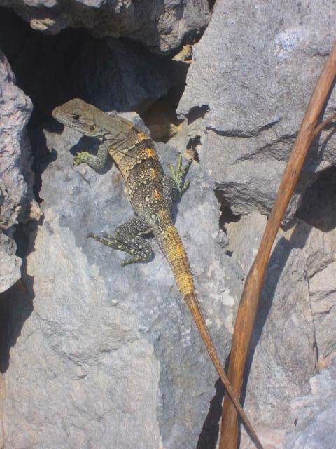 Iguana Walk 059