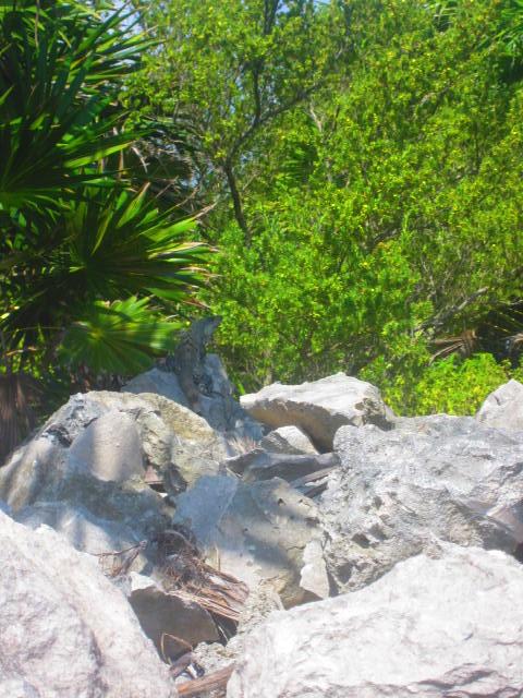Iguana Walk 061