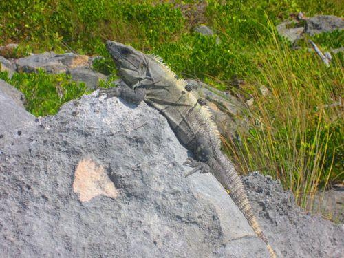 Iguana Walk 076