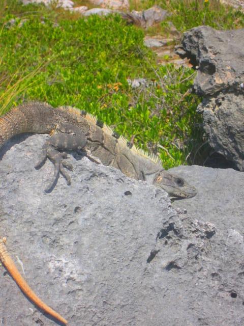 Iguana Walk 084