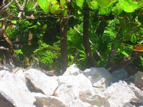 Iguana Walk 091