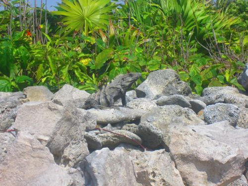 Iguana Walk 108