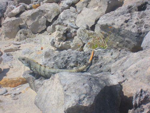 Iguana Walk 111