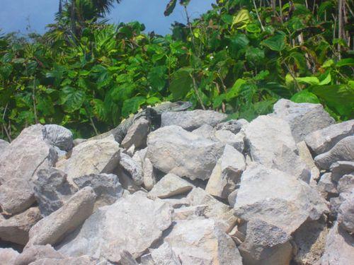 Iguana Walk 122
