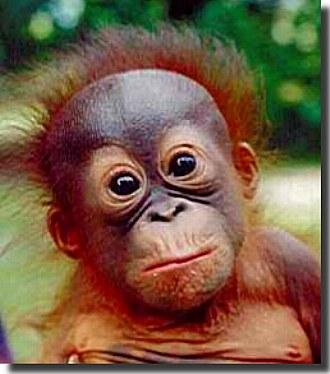 Orangutanpictures